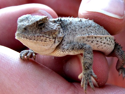 Horned lizard closeup - Carol Cox